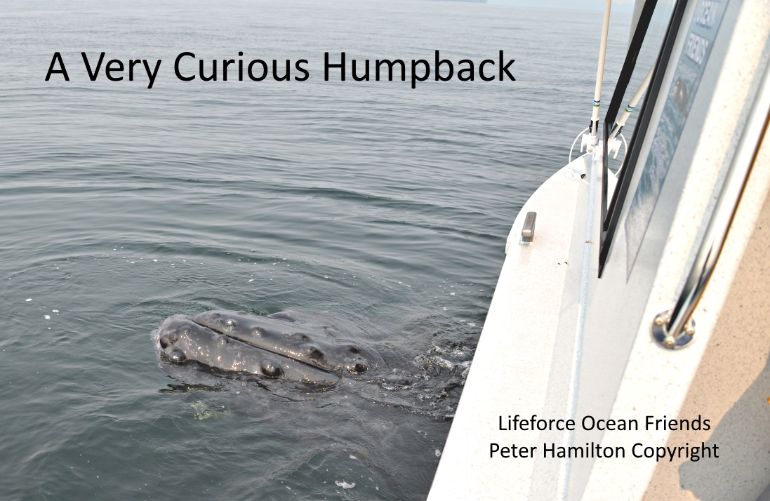 A Very Curious Humpback!