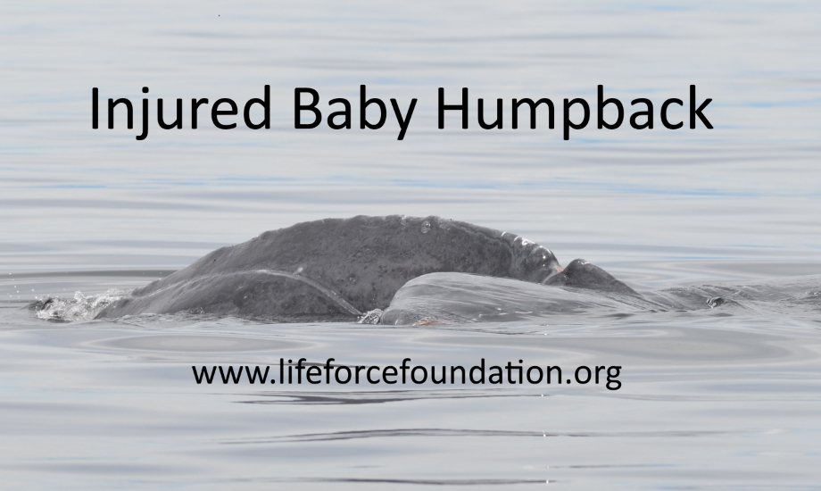 More Humpback Injuries In Bc!